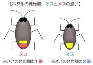 石川県金沢のホタルの観賞時期・時間帯・おすすめスポット2020 ホタルの発光器 メスとオスの違い