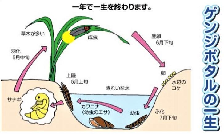 石川県金沢のホタルの観賞時期・時間帯・おすすめスポット2019 ホタルの一生イラスト
