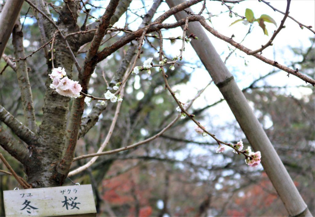 【紅葉】石川・金沢兼六園の見頃・混雑時間・駐車場やライトアップ2019について 冬桜