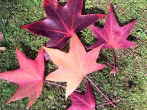 【紅葉】石川・金沢兼六園の見頃・混雑時間・駐車場やライトアップ2021について アメリカ楓の落ち葉