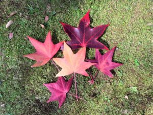 【紅葉】石川・金沢兼六園の見頃・混雑時間・駐車場やライトアップ2019について アメリカ楓の落ち葉