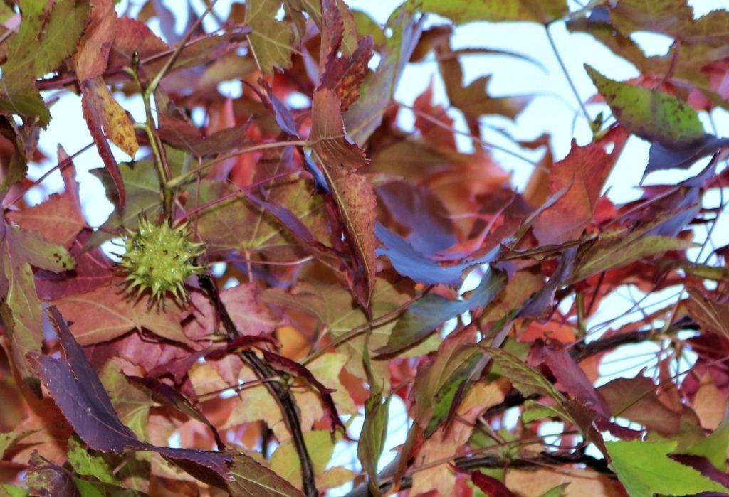 【紅葉】石川・金沢兼六園の見頃・混雑時間・駐車場やライトアップ2021について アメリカ楓の実01