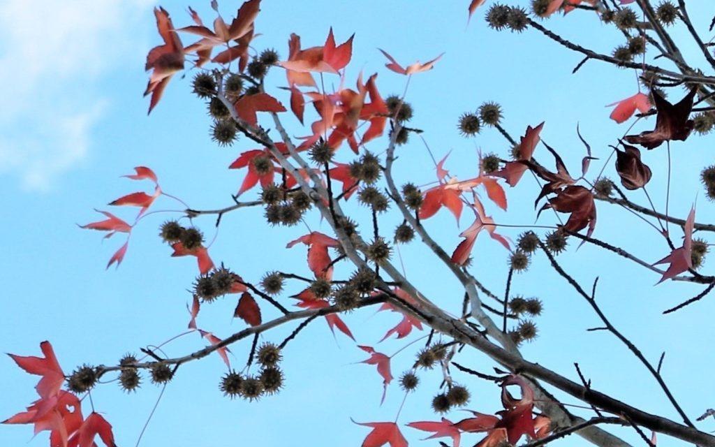 【紅葉】石川・金沢兼六園の見頃・混雑時間・駐車場やライトアップ2019について 2019年11月13日アメリカ楓の実
