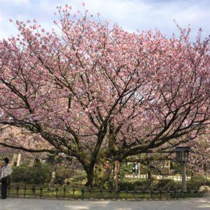 【2020春】兼六園の桜の見頃・開花予想・人気スポット10ヵ所や花見ライトアップ 4月17日「兼六園熊谷」