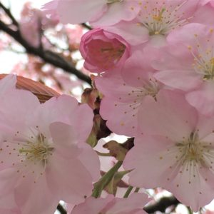 【2020春】兼六園の桜の見頃・開花予想・人気スポット10ヵ所や花見ライトアップ「兼六園熊谷」アップ