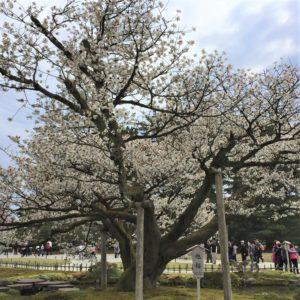 【2020春】兼六園の桜の見頃・開花予想・人気スポット10ヵ所や花見ライトアップ 4月17日「旭桜」