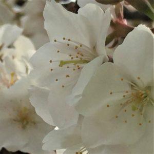 【2020春】兼六園の桜の見頃・開花予想・人気スポット10ヵ所や花見ライトアップ 4月17日「旭桜」アップ