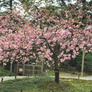 【2020春】兼六園の桜の見頃・開花予想・人気スポット10ヵ所や花見ライトアップ 4月17日「楊貴妃」
