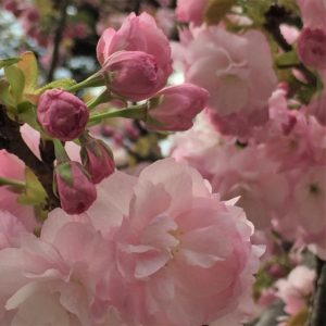 【2020春】兼六園の桜の見頃・開花予想・人気スポット10ヵ所や花見ライトアップ 4月17日「楊貴妃」アップ
