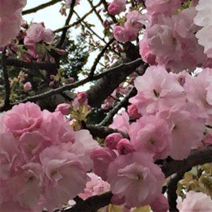 【2020春】兼六園の桜の見頃・開花予想・人気スポット10ヵ所や花見ライトアップ 兼六園 楊貴妃02