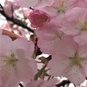 【2020春】兼六園の桜の見頃・開花予想・人気スポット10ヵ所や花見ライトアップ 兼六園熊谷02