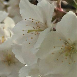 【2020春】兼六園の桜の見頃・開花予想・人気スポット10ヵ所や花見ライトアップ 旭桜02