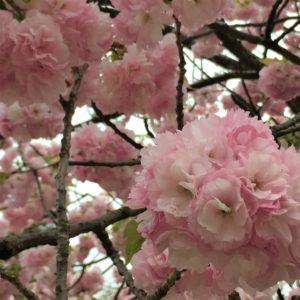【2020春】兼六園の桜の見頃・開花予想・人気スポット10ヵ所や花見ライトアップ 4月21日「楊貴妃」アップ