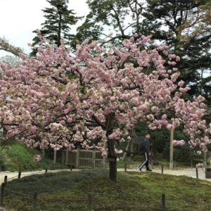 【2020春】兼六園の桜の見頃・開花予想・人気スポット10ヵ所や花見ライトアップ 4月21日「楊貴妃」