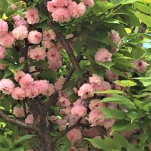 【2020春】兼六園の桜の見頃・開花予想・人気スポット10ヵ所や花見ライトアップ 4月27日「兼六園菊桜」アップ