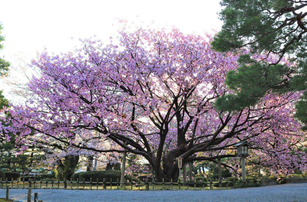 【2021春】兼六園の桜の見頃・開花予想・人気スポット10ヵ所や花見ライトアップ 兼六園熊谷05