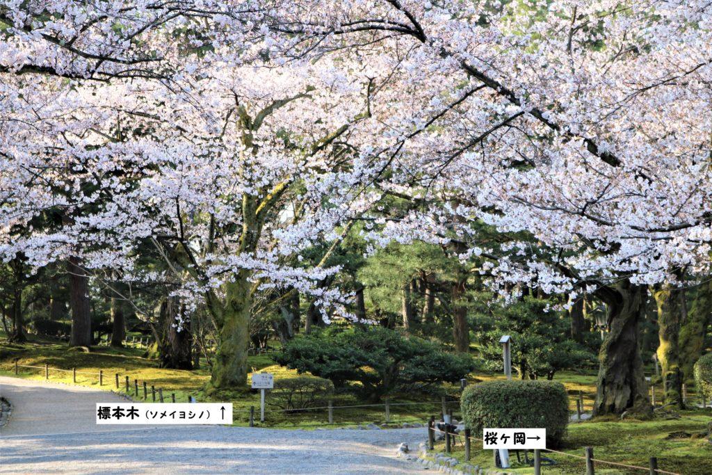 【2020春】兼六園の桜の見頃・開花予想・人気スポット10ヵ所や花見ライトアップ 兼六園の標本木(ソメイヨシノ)01