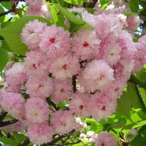 【2020春】兼六園の桜の見頃・開花予想・人気スポット10ヵ所や花見ライトアップ 兼六園菊桜