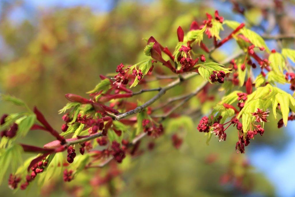 【2020春】兼六園の桜の見頃・開花予想・人気スポット10ヵ所や花見ライトアップ 観桜期のモミジの若葉と花