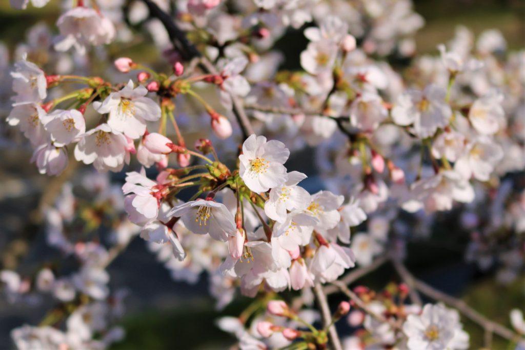 【2020春】兼六園の桜の見頃・開花予想・人気スポット10ヵ所や花見ライトアップ 兼六園ソメイヨシノ満開ライトアップ