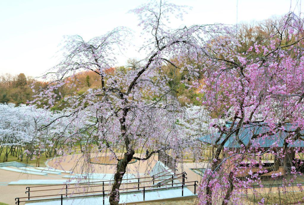 【2021春】兼六園の桜の見頃・開花予想・人気スポット10ヵ所や花見ライトアップ 卯辰山公園「四百年の森」