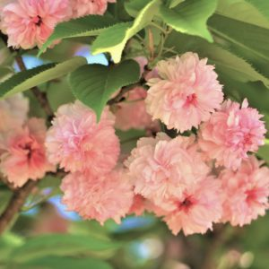 【2021春】兼六園の桜の見頃・開花予想・人気スポット10ヵ所や花見ライトアップ 兼六園菊桜