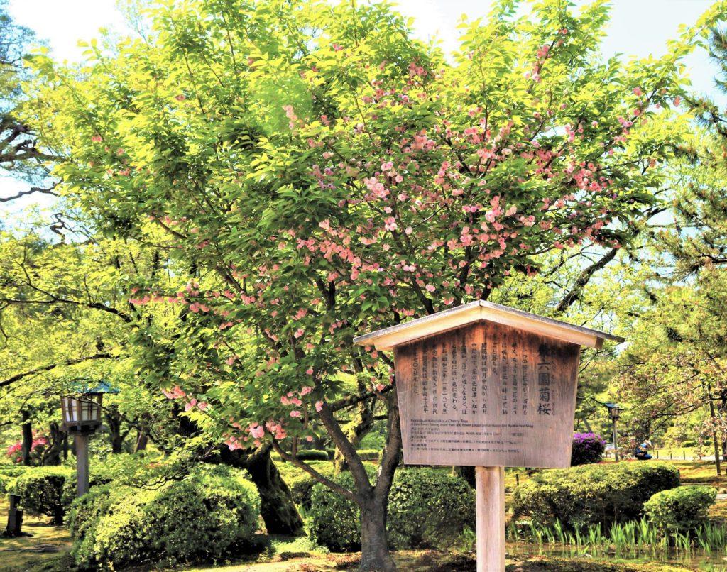 【2021春】兼六園の桜の見頃・開花予想・人気スポット10ヵ所や花見ライトアップ 兼六園菊桜全体