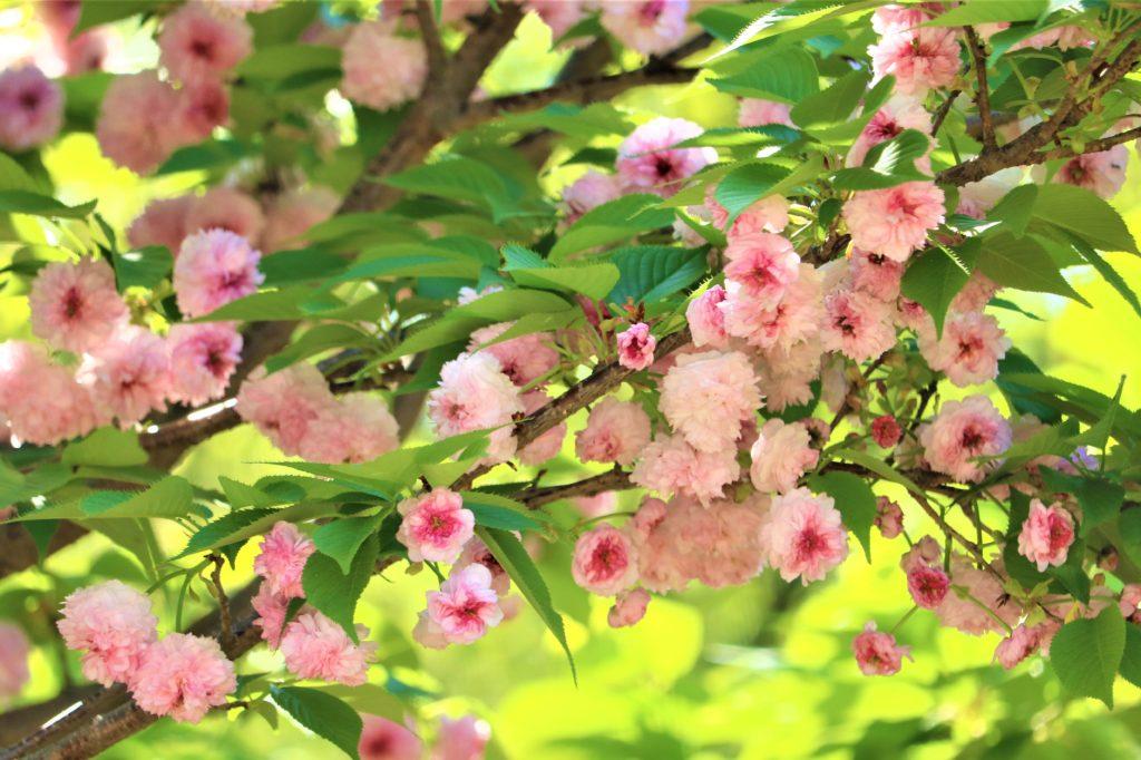 【2021春】兼六園の桜の見頃・開花予想・人気スポット10ヵ所や花見ライトアップ 兼六園菊桜アップ02