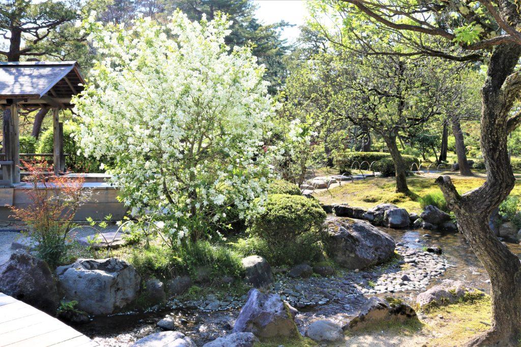 【2021春】兼六園の桜の見頃・開花予想・人気スポット10ヵ所や花見ライトアップ 梅林の利休梅01 兼六園菊桜が満開の頃