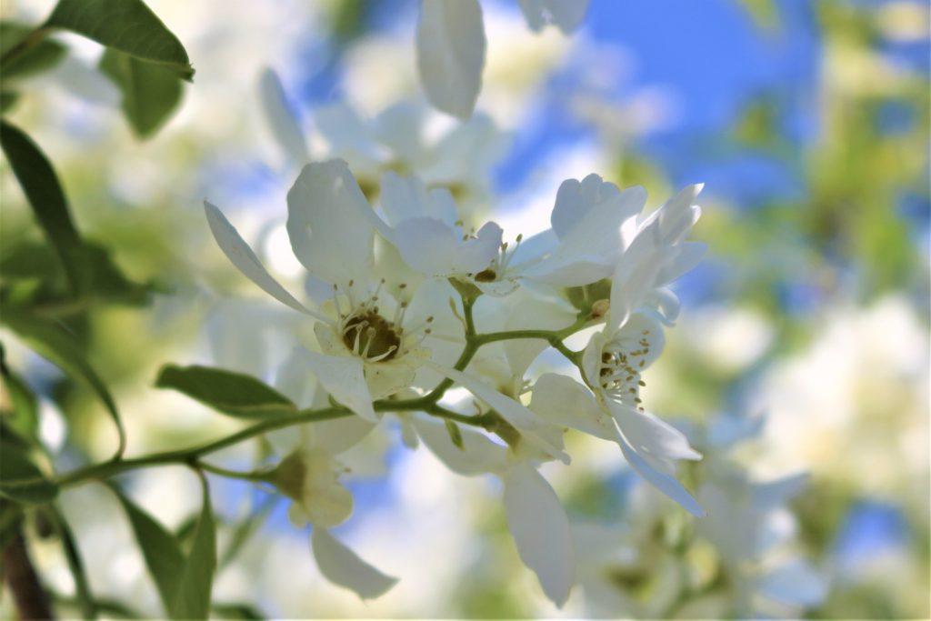 【2021春】兼六園の桜の見頃・開花予想・人気スポット10ヵ所や花見ライトアップ 梅林の利休梅02 兼六園菊桜が満開の頃