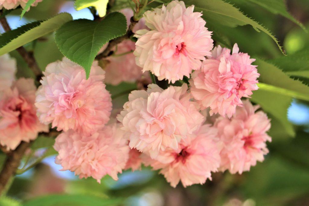 【2021春】兼六園の桜の見頃・開花予想・人気スポット10ヵ所や花見ライトアップ 兼六園菊桜アップ