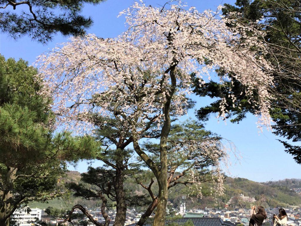 【2019春】兼六園の桜の見頃・開花予想・人気スポット10ヵ所や花見ライトアップ 2019年4月6日 しだれ桜