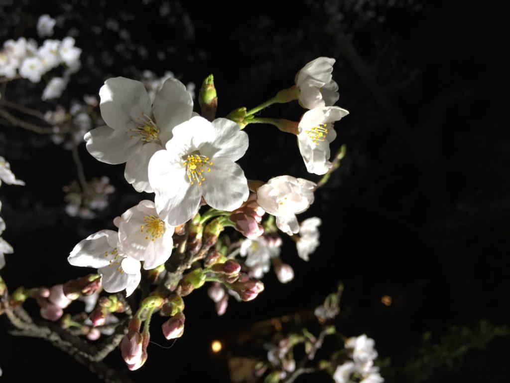 【2019春】兼六園の桜の見頃・開花予想・人気スポット10ヵ所や花見ライトアップ 2019年4月6日 ライトアップ夜桜アップ