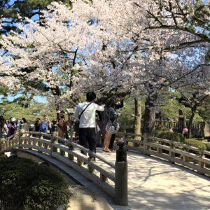 【2020春】兼六園の桜の見頃・開花予想・人気スポット10ヵ所や花見ライトアップ 桜と花見橋