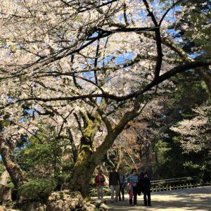 【2020春】兼六園の桜の見頃・開花予想・人気スポット10ヵ所や花見ライトアップ 真弓坂の桜