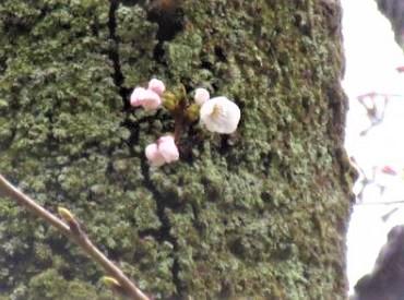 【2019春】兼六園の桜の見頃・開花予想・人気スポットや花見ライトアップ 4月2日 兼六園「標本木」開花