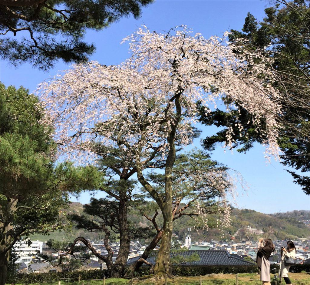 【2019春】兼六園の桜の見頃・開花予想・人気スポットや花見ライトアップ 2019年4月6日 しだれ桜