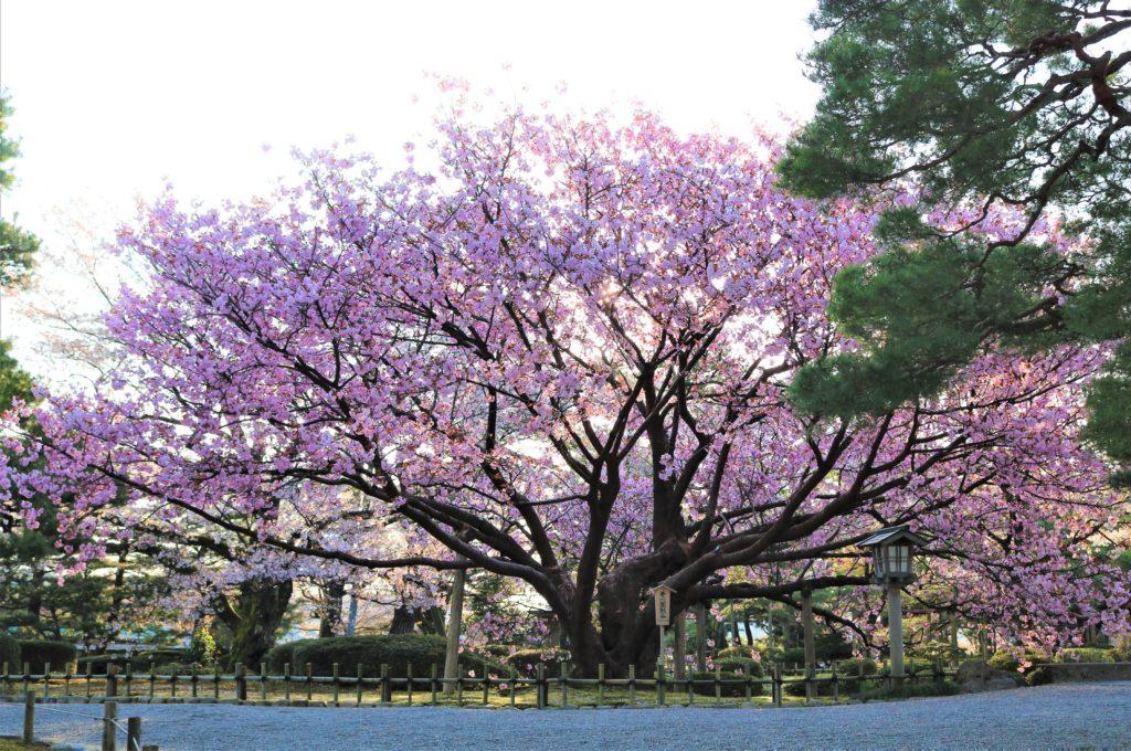 【2020春】兼六園の桜の見頃・開花予想・人気スポット10ヵ所や花見ライトアップ 兼六園熊谷05