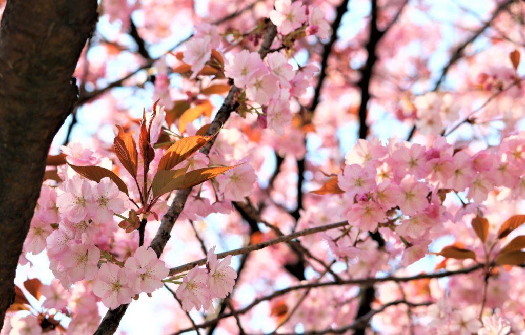 【2020春】兼六園の桜の見頃・開花予想・人気スポット10ヵ所や花見ライトアップ 兼六園熊谷04