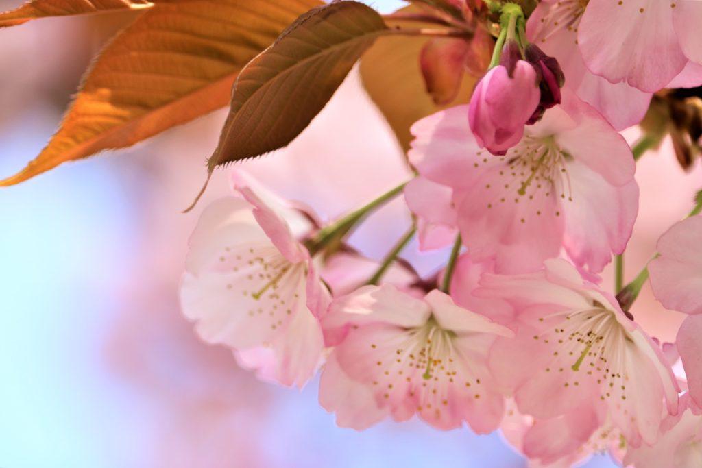 【2020春】兼六園の桜の見頃・開花予想・人気スポット10ヵ所や花見ライトアップ 兼六園熊谷03