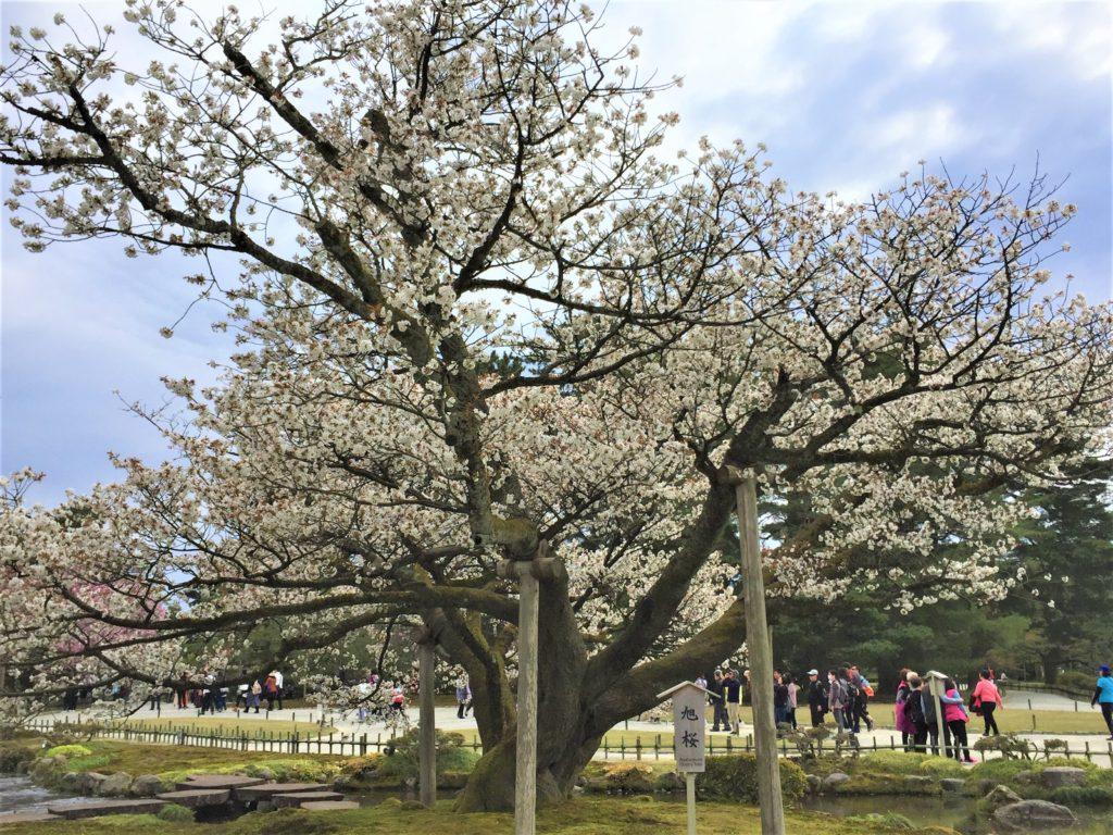 【2020春】兼六園の桜の見頃・開花予想・人気スポット10ヵ所や花見ライトアップ 旭桜05
