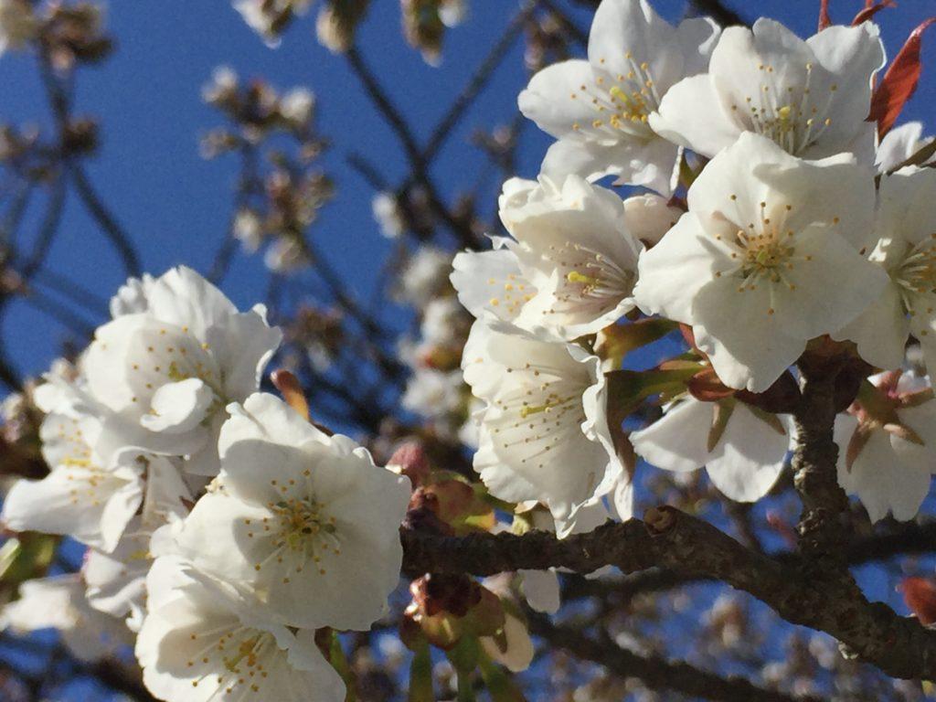 【2020春】兼六園の桜の見頃・開花予想・人気スポット10ヵ所や花見ライトアップ 旭桜04