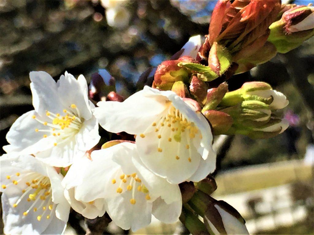 【2020春】兼六園の桜の見頃・開花予想・人気スポット10ヵ所や花見ライトアップ 旭桜03