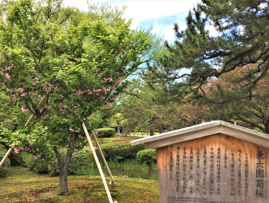 【2020春】兼六園の桜の見頃・開花予想・人気スポット10ヵ所や花見ライトアップ 兼六園菊桜03