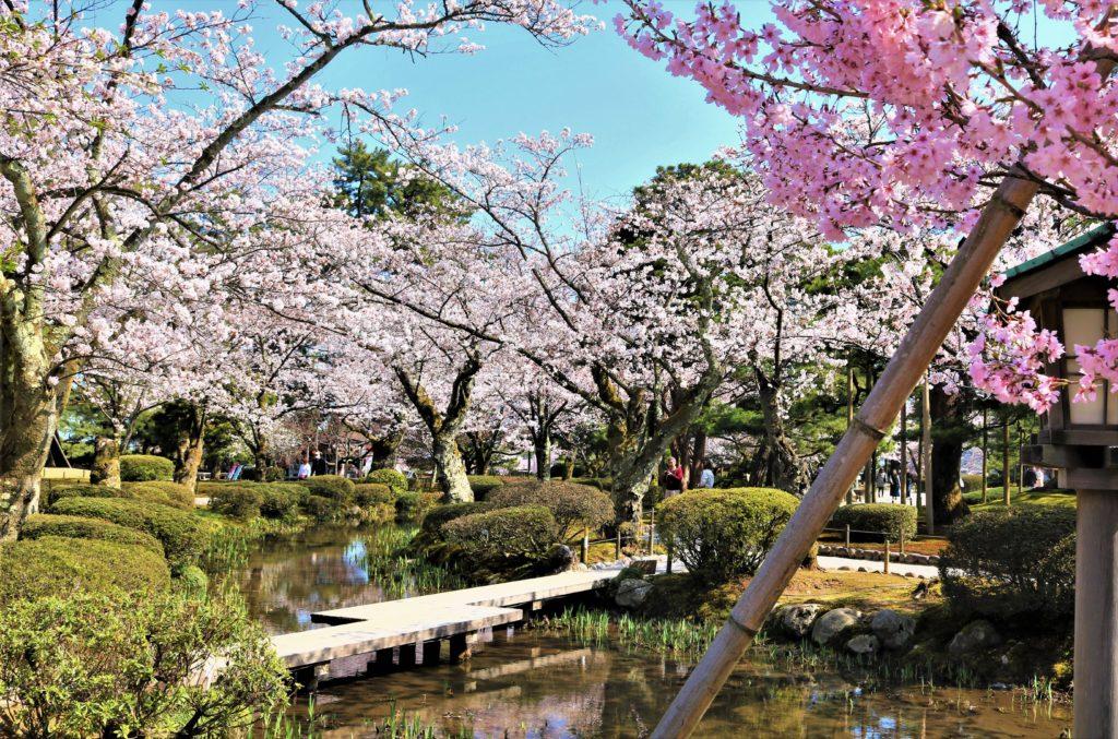 【2020春】兼六園の桜の見頃・開花予想・人気スポット10ヵ所や花見ライトアップ 桜と花見橋04