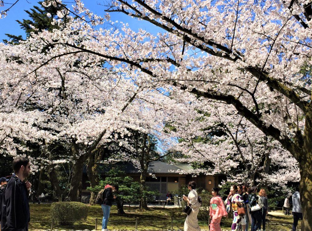 【2020春】兼六園の桜の見頃・開花予想・人気スポット10ヵ所や花見ライトアップ 桜ヶ岡