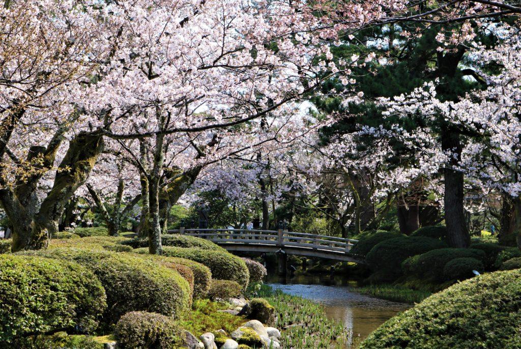 【2020春】兼六園の桜の見頃・開花予想・人気スポット10ヵ所や花見ライトアップ 桜と花見橋03