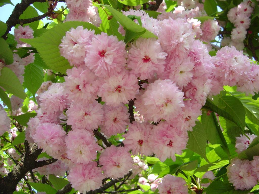 【2020春】兼六園の桜の見頃・開花予想・人気スポット10ヵ所や花見ライトアップ 兼六園菊桜01