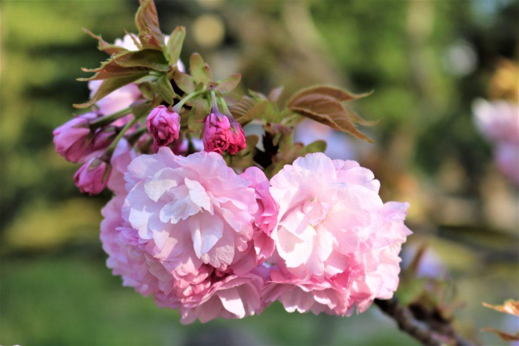 【2020春】兼六園の桜の見頃・開花予想・人気スポット10ヵ所や花見ライトアップ 兼六園 楊貴妃03