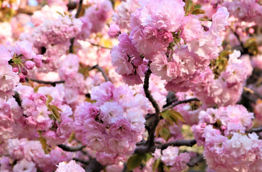 【2020春】兼六園の桜の見頃・開花予想・人気スポット10ヵ所や花見ライトアップ 兼六園 楊貴妃04